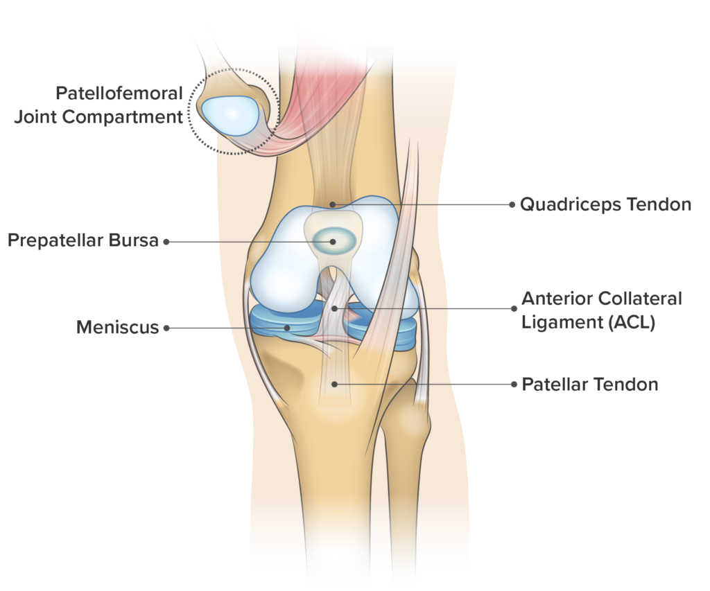 Knee Anatomy Frontal View