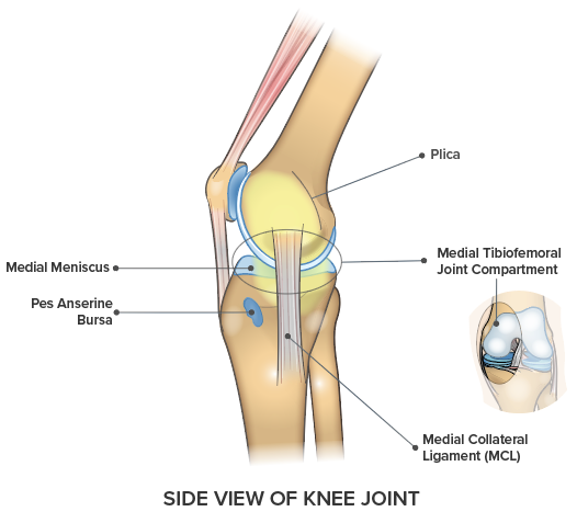 Knee Anatomy Side Medial View