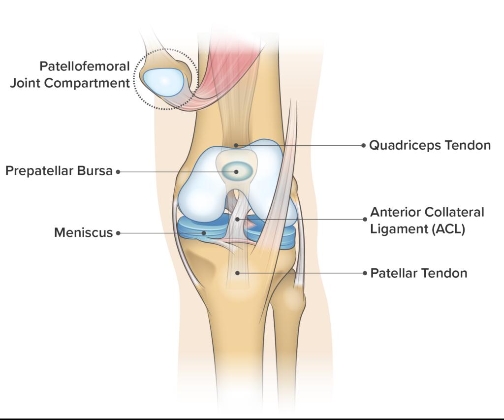 Knee anatomy including the meniscus.